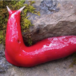 Hot pink slug